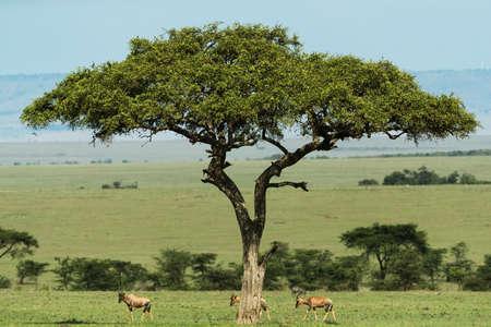 Group of eland in savannah