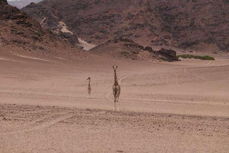 giraffe in savannah in namibia