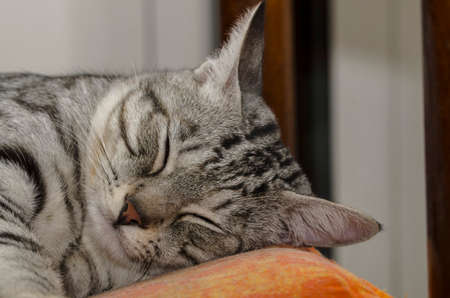 Close-up of a sleepy cat with the head on top of the pillow Foto de archivo