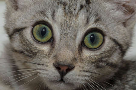 Close-up of a domestic cat with a careful and curious look Фото со стока