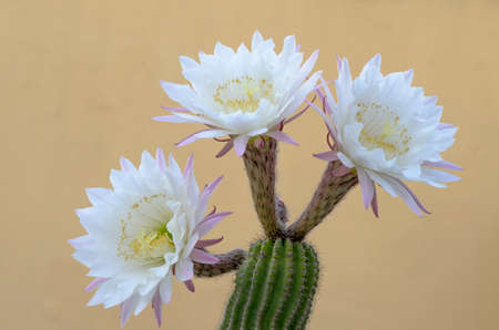Cactus plant with beautiful white and pink flowers in the foreground Archivio Fotografico