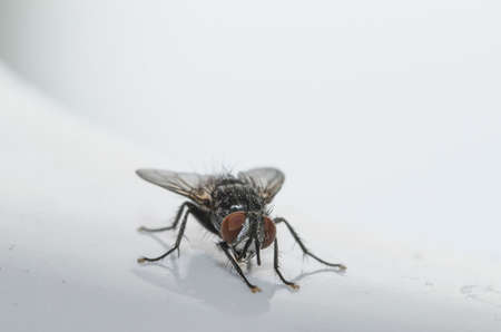 Specimen of domestic fly in the foreground