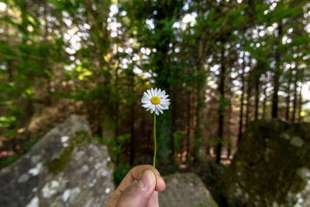 Hand holding a daisy flower 스톡 콘텐츠
