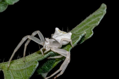 Specimen of white crab spider - Thomisus onustus Thomisidae