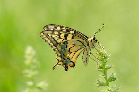 Close up of Machaon butterfly on flower with green background Stock Photo
