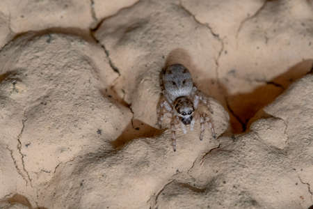 Specimen of jumping spider on a rocky wall