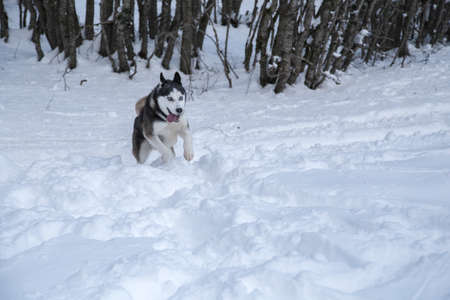 Amazing portrait of a Siberian Husky wolf dog into the wild of the forest on fresh powder snow ground  photo