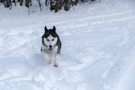 a Siberian Husky wolf dog into the wild of the forest  photo