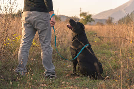 commands: A black labrador is looking up at the owner waiting for commands. They are surrounded by a wild field.