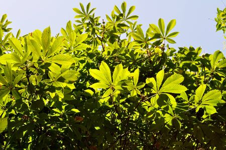 Chestnut leaves directly lit up by the sun Stock Photo - 15419189
