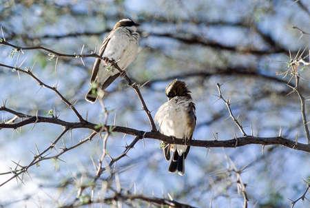 a couple of whitebrowed sparrow-weaver (Plocepasser mahali) on a acacia tree,  Hwange National Park, Zimbabwe, Africa