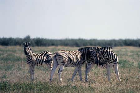 zebra (Equus burchellii) at a waterhole in Etosha National Park, Namibia, Africa