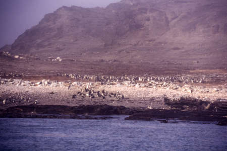 colony of jackass penguin (spheniscus demersus) in the fog of halifax island, namibia, africa