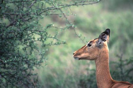 Impala (Aepyceros melampus), Kruger National Park, mpumalanga, south africa