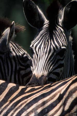 Plains Zebra (Equus burchellii) Hluhluwe National Park, Kwa-Zulu Natal, South Africa