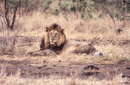 Lion (Panthera leo), Kruger National Park, Mpumalanga, South Africa