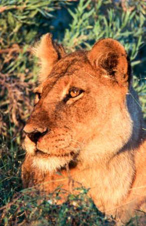 Lion (Panthera leo), Moremi Wildlife Reserve, Ngamiland, Botswana, Africa 免版税图像