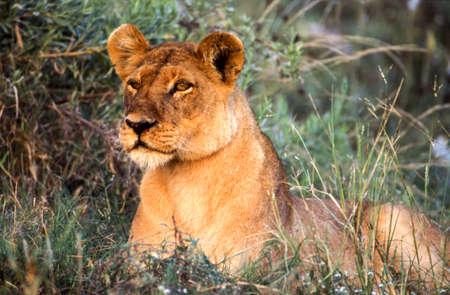 Lion (Panthera leo), Moremi Wildlife Reserve, Ngamiland, Botswana, Africa Фото со стока