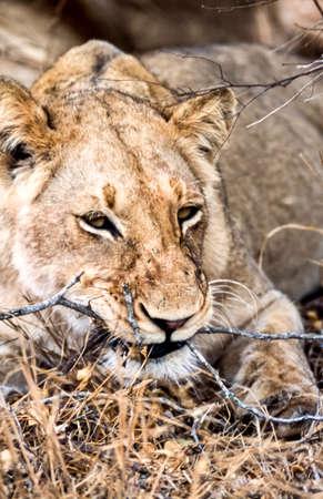 Lion, (Panthera leo), Kruger National Park, Mpumalanga, South Africa, Africa