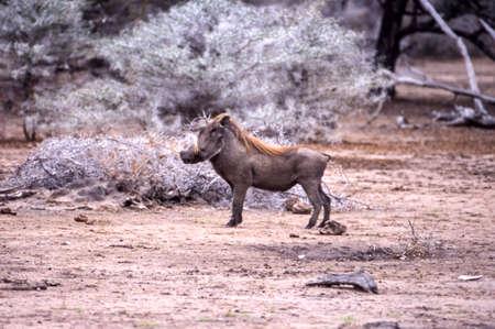 Warthog (Phacochoerus aethiopicus), Selous Game Reserve, Morogoro, Tanzania, Africa