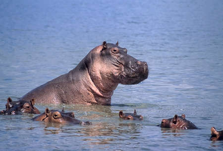 Hippopotamus (Hippopotamus amphibius), Selous Game Reserve, Morogoro, Tanzania, Africa 스톡 콘텐츠