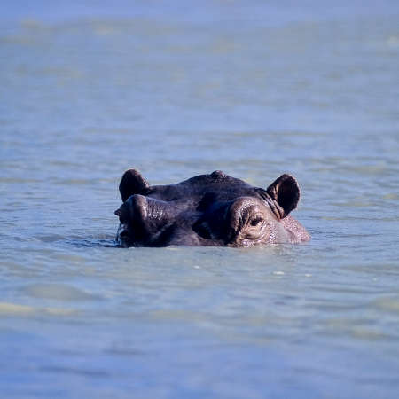 Hippopotamus (Hippopotamus amphibius), Selous Game Reserve, Morogoro, Tanzania, Africa 版權商用圖片