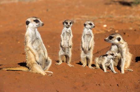 Suricate (Suricata suricatta), Africa, Namibia, Hardap, Kalahari
