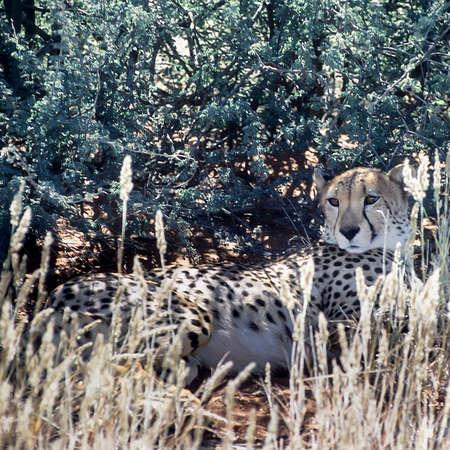 Cheetah (Acinonyx jubatus), Africa, Namibia, Hardap, Kalahari Stock Photo