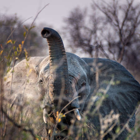 Elephant (Loxodonta africana) South Africa, Mpumalanga, Timbavati Nature Reserve