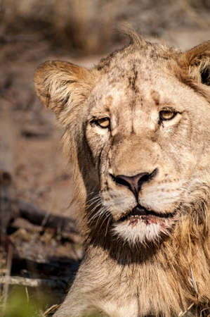 Lion (Panthera leo) South Africa, Mpumalanga, Timbavati Nature Reserve