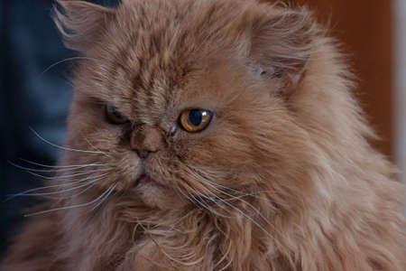 persian cat: the Persian cat portrait rocy