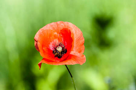 sepal: photographic composition horizontal color of a red poppy in the foreground in a green field