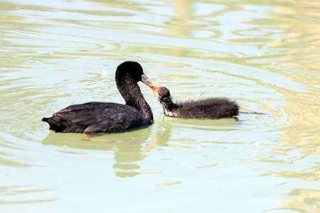 nourishing: horizontal composition color of a moorhen while nourishing its small in a gesture of love