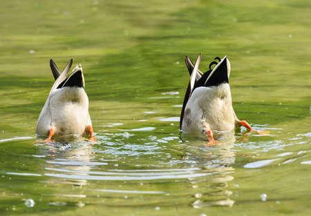 Reverse ducks Stock fotó
