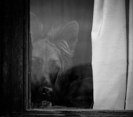 alsation: Dog in the window