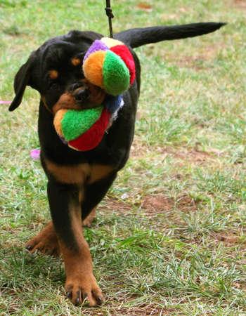 cachorro de rottweiler Foto de archivo - 10018862