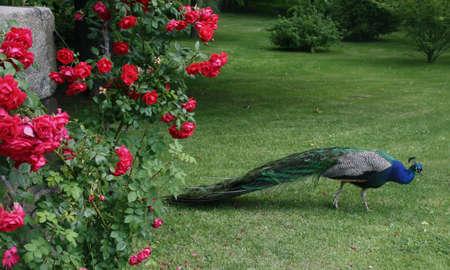peacock wheel: beautiful peacock Stock Photo