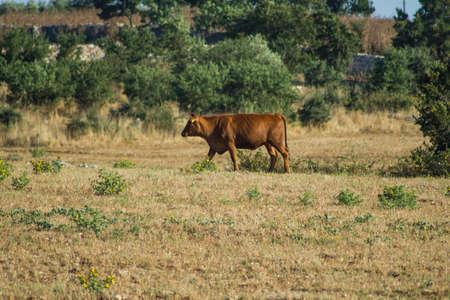 beautiful cow: beautiful cow cow eats grass, hay, straw,