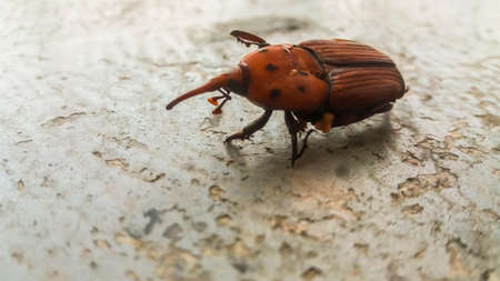 female red brown palm weevil snout beetle Stock Photo