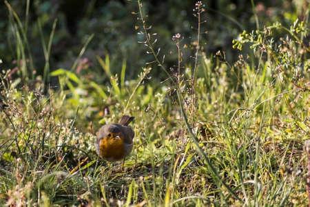 beautiful robin bird on the garden