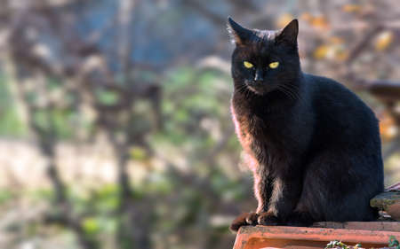 Schwarze Katze Standard-Bild - 94497527