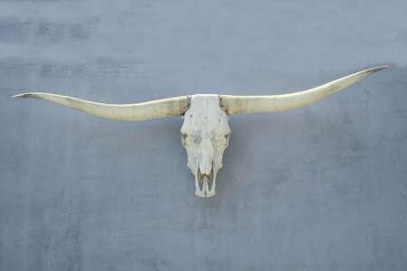 craneo de vaca: cr�neo de vaca Foto de archivo