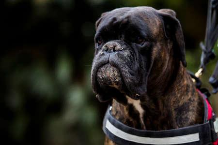 sulking: sulking dog Stock Photo