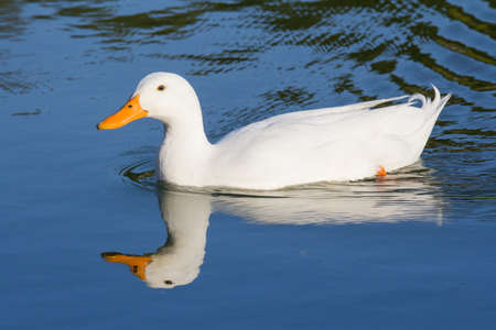 CAGLIARI - Duck that swims in the pond of Monte Claro Park - Sardinia Imagens