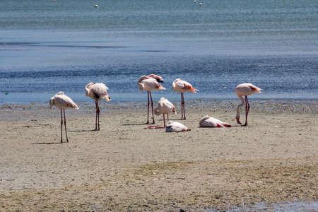 Quartu: flamingos in the salt flats inside the Molentargius pond - Sardinia Imagens