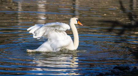 CAGLIARI - Swan swimming in the pond inside the Monte Claro Park - Sardinia