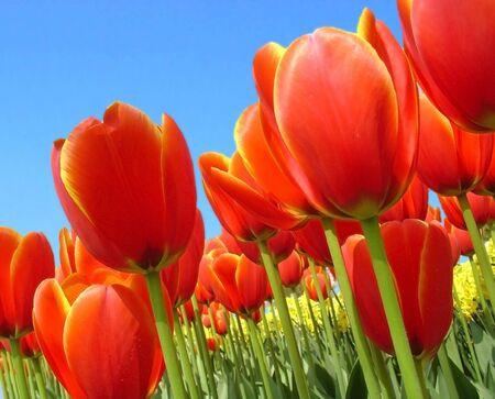 Tulips Stock Photo - 4887797
