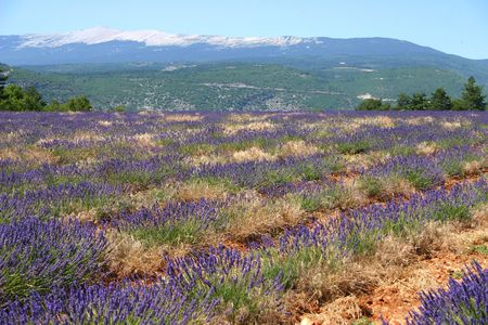 Lavender field in Provence, France photo