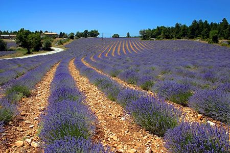 lavander: Lavender field in Provence, France