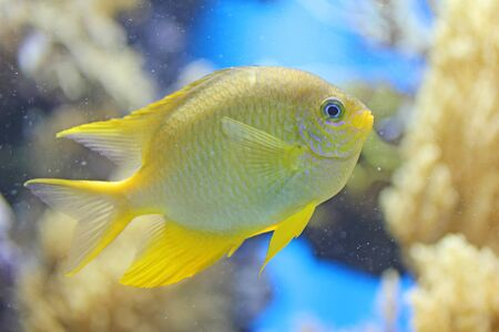 Yellow fish in blue background photo